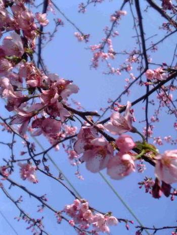Sakura_0323a1