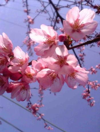 Sakura_0323b1