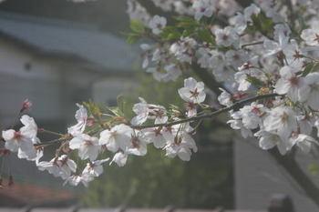 Sakura_0407a1