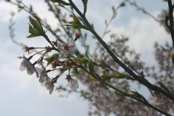 Sakura_0407c1