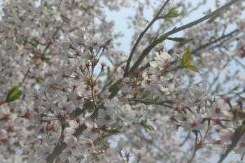 Sakura_0407d1