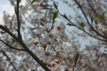 Sakura_0407f1