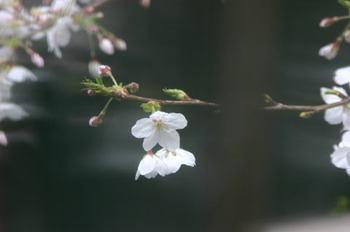 Sakura1_0330c