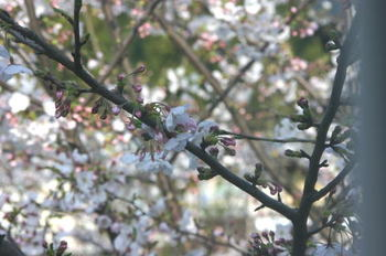Sakura1_0401b